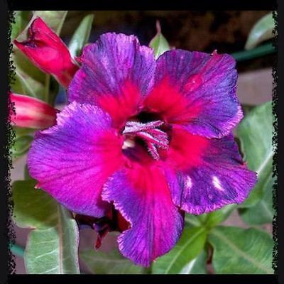 Adenium Obesum Desert Rose - KALEIDOSCOPE - Fresh Seeds (10,25,50,100,200 Seeds)