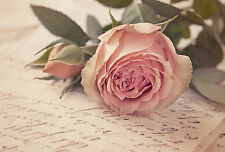 STUNNING SHABBY CHIC PINK ROSE FLOWER CANVAS PICTURE #852 WALL HANGING ART A1