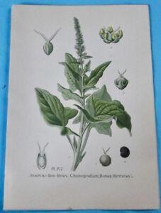 1893 Ancienne Lithographie Ansérine Bon-henri Épinard Gaston Bonnier Botanique Soulager La Chaleur Et La Soif.