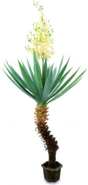 EUROPALMS Yuccapalme mit Blüten, 222cm