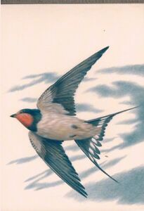 Carte Postalehirondelle Nature Oiseaux Faune Dessin A