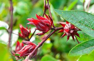 Saatgut exotische Pflanzen Samen Sämereien Balkon Terrasse TEE-HIBISKUS
