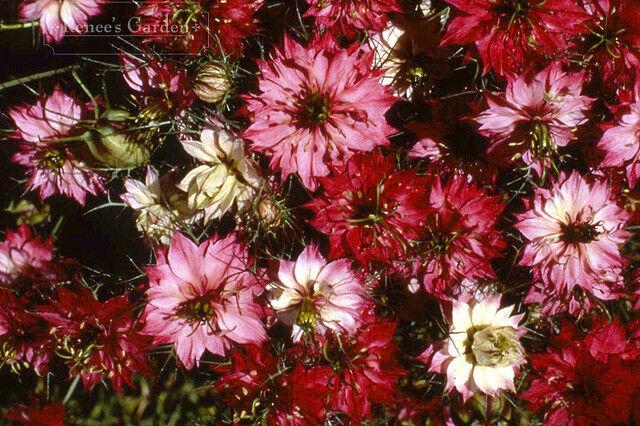 FLOWER NIGELLA LOVE IN A MIST MULBERRY ROSE 2GM ~ 750 SEEDS