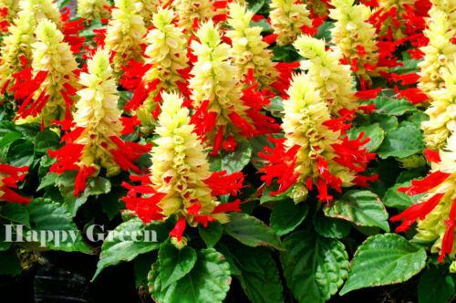 SAGE MIX SALVIA SPLENDENS 30 seeds Very compact strain Annual flower