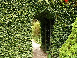 3-Green-Beech-Hedging-Plants-Fagus-Sylvatica-Trees-30-50cm-Copper-in-Winter