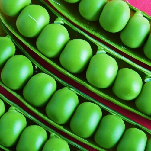 2nd Early KELVEDON WONDER PEA ..reliable short-strawed variety - 300 Seeds