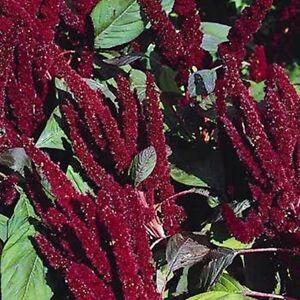100 Seeds Amaranthus Hypochondriacus Pygmy Torch