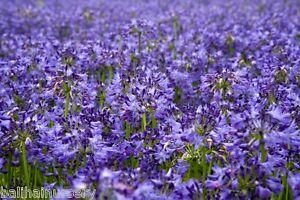 pianta perenne fiori blu
