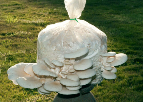 WHITE PEARL OYSTER //MUSHROOM SPAWN,SEEDS//FOR LOGS AND SUPSTRATS!!! 90gr////3.5 oz.