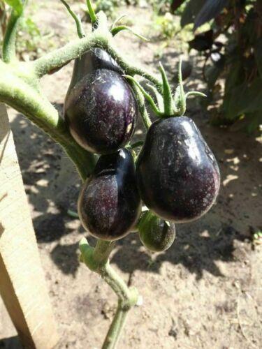 Pear Tomato 5+ Seeds Graines Blue Keyes Tomato Semillas Samen