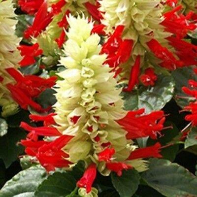 40 + Reddy Bianco Sorpresa Salvia Semi Di Fiori / Siccità Tollerante Perenne