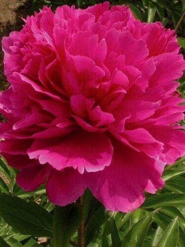Peony Pink Victoria perennial plant flower root peonia full sun ez grow fragrant