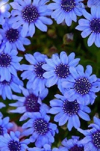 BUTTERFLIES 50 DROUGHT TOLERANT ANNUAL FELICIA BLUE/'S BLUE FLOWER SEEDS