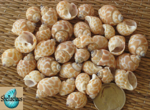"CRAFT//SMALL HERMIT CRABS 35 BABY BABYLONIA SEA SHELLS 1-1//8/"" /& UNDER 1//2CUP"