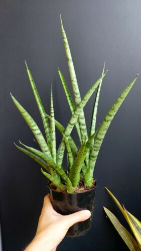 Cylindrica Snake Plant Succulents Sansevieria trifasciata /'Pineapple/' H 20 cm