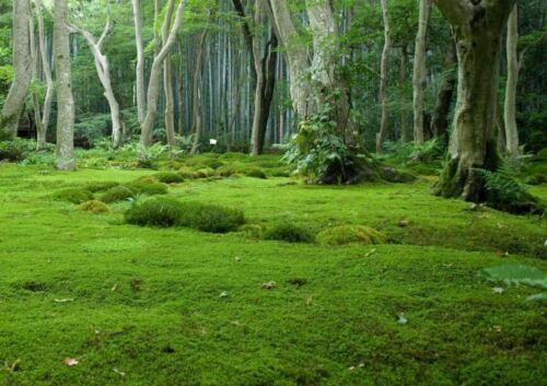 1 pies cuadrados fresca musgo moosplatten vivos moss cementerio jardín moosmatten