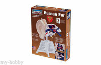 Human Ear Model Kit - Anatomically Accurate - Lindberg 71308