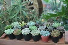 "10 Gorgeous Specialty Succulent Wedding Favors in their 2.5"" plastic containers"