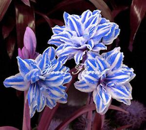 Impressive-Amaryllis-Bulbs-Fragrant-Flowers-Beautifying-Resistant-Bonsai-Plants