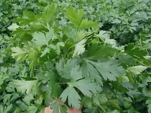 Parsley-Seeds-Giant-Italy-Herb-Seed-from-UKraine