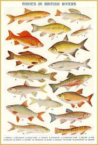 12 Sizes Vintage British River Fish Poster T-Shirt Fresh Water Fishing Gift