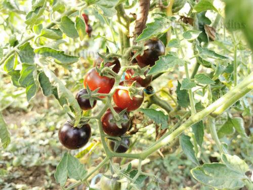 """BIO Lot de 20 graines de tomate cerise bleue /""""Blue ossu/"""""""