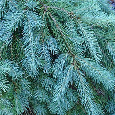 Christmas Tree Seeds.100 Blue Douglas Fir Tree Seeds Evergreen Christmas Tree Seeds Ebay