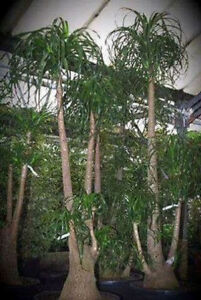 Individuelles außergewöhnliches Geschenk für Ostern Urwelt-Mammutbaum Samen