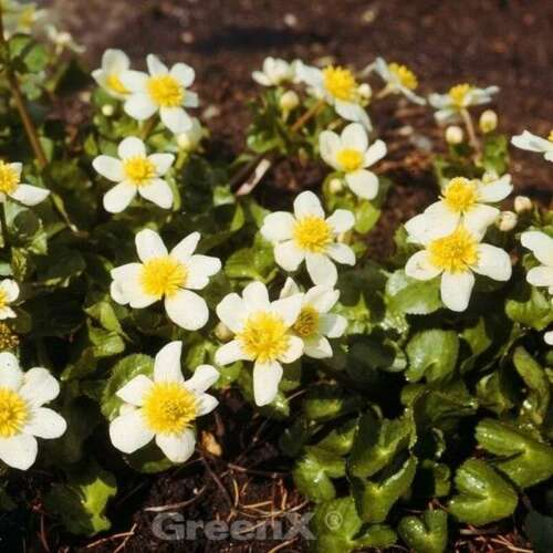 Garten Dotterblume Caltha leptosepala