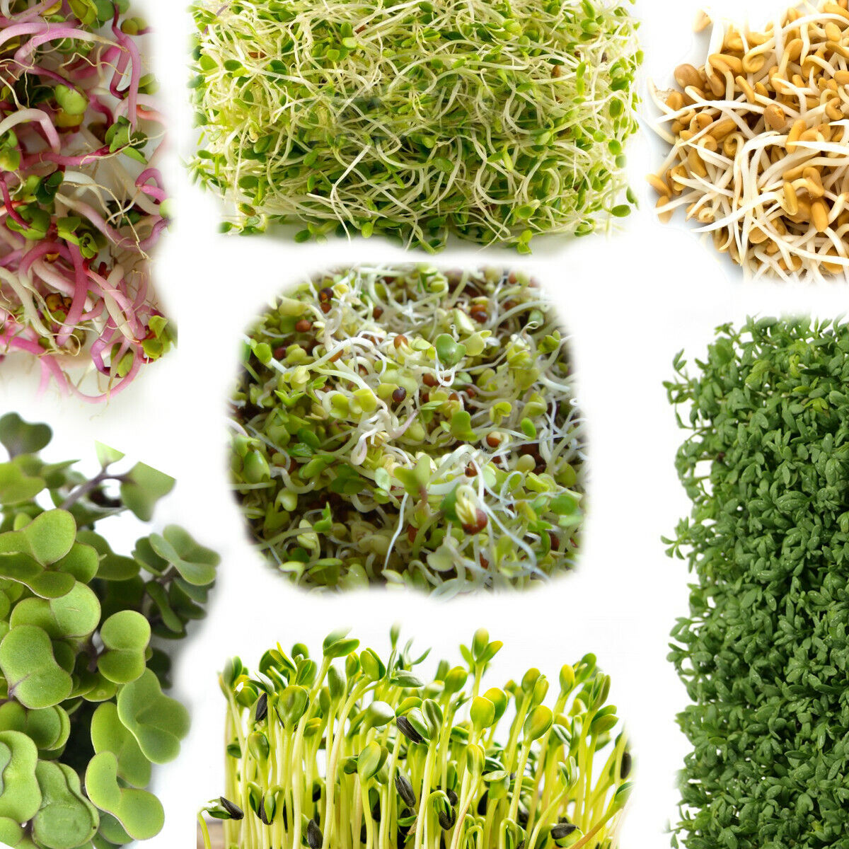 Organic Seeds for Sprouting Sprouts, Microgreens, Healthy Salad - 24 types seed
