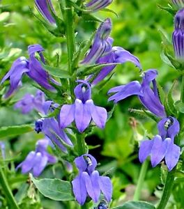 Details About Lobelia Siphilitica Blue Selection Blue Cardinal Flower 100 Special Seeds
