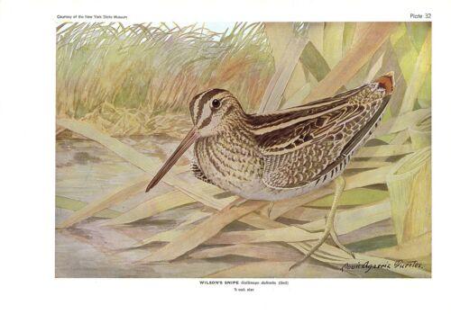 "1936 Vintage FUERTES BIRDS #32 /""WILSON/'S SNIPE/"" Color Art Plate Lithograph"