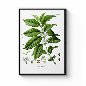 Arabica Coffee Leaf Drawing Botanical Art Poster, Home Wall Decor Poster