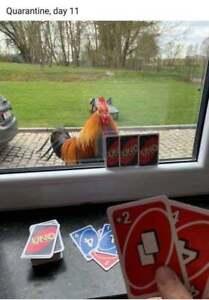 "Funny Chicken refrigerator magnet  3 x 3 /"""