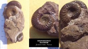 Graphoceras-decorum-Ammonite-Fossil-Francia-Jurasico