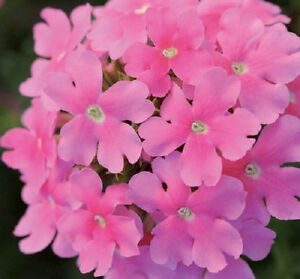 50-Verbena-Seeds-Quartz-Pink-Flower-Seeds