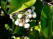 Randia aculeata, white indigoberry florida native indigo berry seed  100 seeds