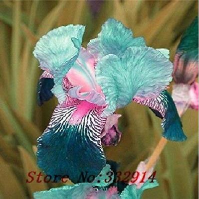 Iris 2 Bulbs Perennial Impressive Bonsai Flowers Fragrant Fresh Plants Rare Gift