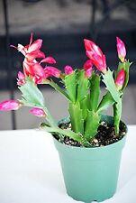 "Live Rare Red Christmas Cactus Plant - Zygocactus - 4"" Pot Mature Indoor House"