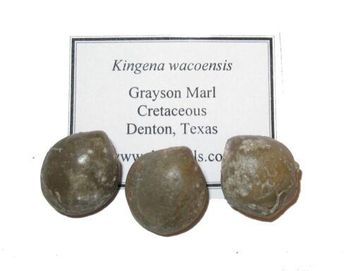 Kingena wacoensis Grayson Marl Cretaceous brachiopod fossil 1 per bid