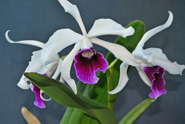 purpurata semi alba Kräftige Jungpflanze seedling no 24 orchid