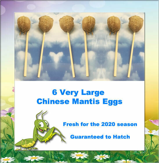 108 Chinese Praying Mantis Eggs 2019 Season Available Now While