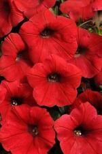 Petunia Shock Wave Red Pelleted Seeds