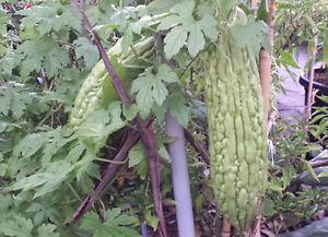 Asian-Long-Bitter-Melon-Pinyin-Pare-Paakharkaai-Karela-6-Seeds