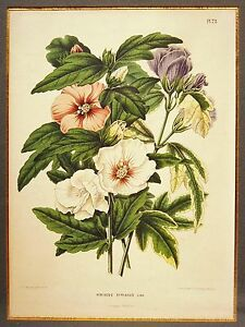Abraham-Jacobus-Wendel-Chromolithography-Severeyns-amp-Wolters-Hibiscus-Syriacus