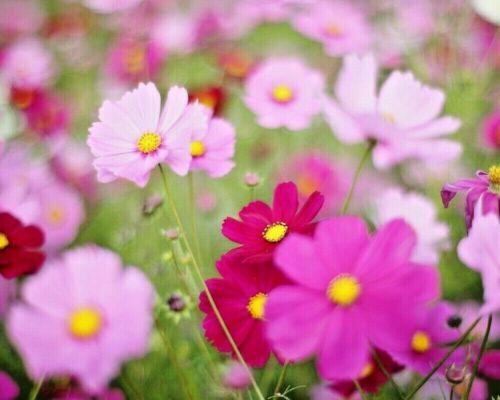 Low Jewellery Cups Mix 100 Seeds-Cosmea-Cosmos Bipinnatus Seeds-Kosmee