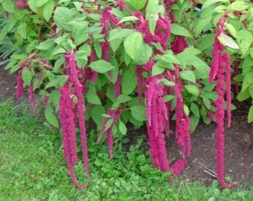 Rouge Jardin-Renard Queue-Amaranthus caudé 500 graines