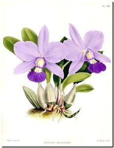 Vintage-Botanical-Art-CANVAS-PRINT-Pink-Purple-Orchid-24-034-X18-034