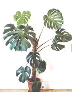 Monstera Deliciosa Baby Houseplant Tropical Plant Ebay