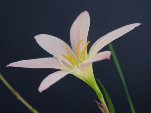 NEW habranthus Zephyranthes Tweedle Dum 2 bulbs Rain Lily